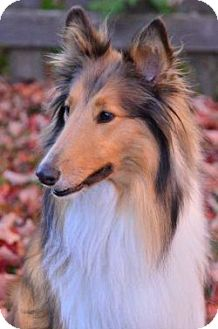 Collie Dog for adoption in Dublin, Ohio - LILLY