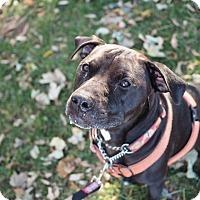 Adopt A Pet :: Napoleon Dynamite - Whitehall, PA