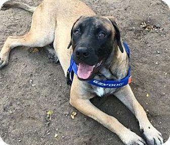 Mastiff Puppy for adoption in Broomfield, Colorado - Fitz