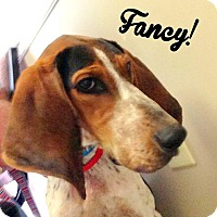 Bluetick Coonhound Mix Dog for adoption in Hagerstown, Maryland - Fancy