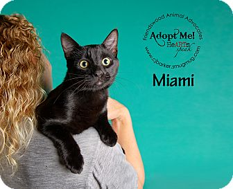 Domestic Shorthair Cat for adoption in Friendswood, Texas - Miami