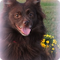 Adopt A Pet :: Tootsie - Anderson, SC