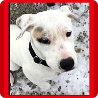 Adopt A Pet :: Blizzard - Mt. Clemens, MI