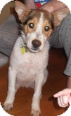 Collie Mix Puppy for adoption in Plainfield, Connecticut - Mario