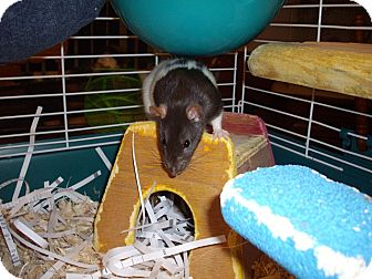 Rat for adoption in Greenwood, Michigan - Dancer