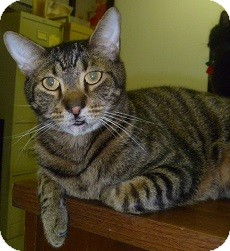Domestic Shorthair Cat for adoption in Hamburg, New York - Hugo