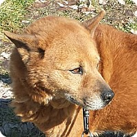 Chow Chow Dog for adoption in Dix Hills, New York - KAELA