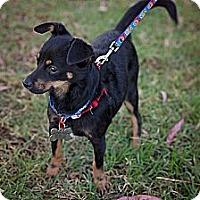 Adopt A Pet :: Mini-Mila - Sherman Oaks, CA