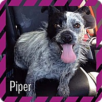 Adopt A Pet :: PIPER - Salt Lake City, UT