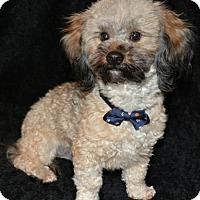Adopt A Pet :: Han Solo - Abilene, TX