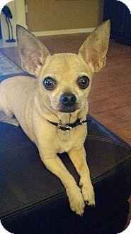 Chihuahua Mix Dog for adoption in Lakeland, Florida - Poppy