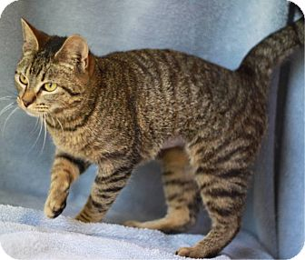 Domestic Shorthair Cat for adoption in South Haven, Michigan - Bessie