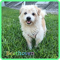 Adopt A Pet :: Beethoven - Hollywood, FL