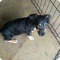 Adopt A Pet :: Bailey-(RC) - Santa Ana, CA