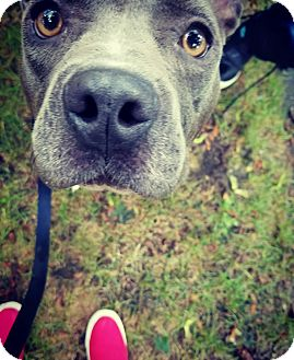 Pit Bull Terrier Mix Dog for adoption in Hainesville, Illinois - Bitsy