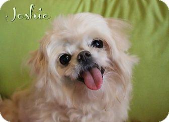 Maltese/Poodle (Miniature) Mix Dog for adoption in Benton, Louisiana - Joshie