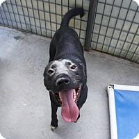 Adopt A Pet :: Bear* - Henderson, NC