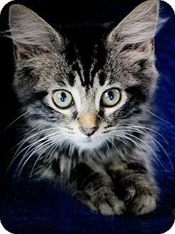 Domestic Mediumhair Kitten for adoption in Mount Pleasant, South Carolina - Dorthea