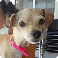 Adopt A Pet :: Sam - Berkeley, CA