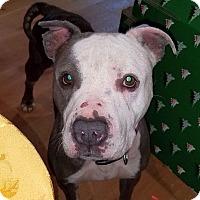 American Pit Bull Terrier Dog for adoption in Berkeley, California - Hope