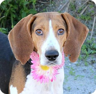 Hound (Unknown Type) Mix Dog for adoption in Loxahatchee, Florida - Thelma
