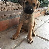 Adopt A Pet :: Boomer - Phoenix, AZ