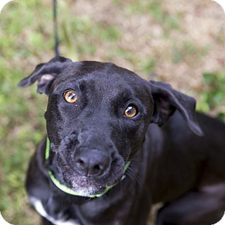 Labrador Retriever Mix Dog for adoption in Houston, Texas - Juneau