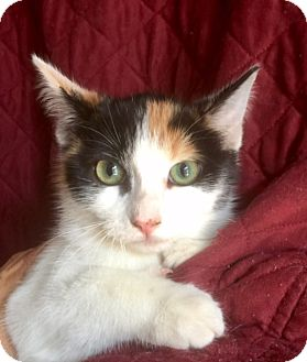 Domestic Shorthair Kitten for adoption in Irvine, California - JILL