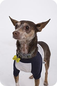 Chihuahua/Miniature Pinscher Mix Dog for adoption in Beverly Hills, California - Robert Browning