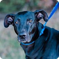 Adopt A Pet :: Bella $125 - Seneca, SC
