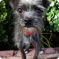 Terrier (Unknown Type, Small)/Chihuahua Mix Dog for adoption in Los Angeles, California - Trixie