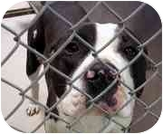 American Pit Bull Terrier Dog for adoption in Emory, Texas - Mike