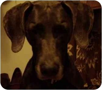 Weimaraner Dog for adoption in Eustis, Florida - Maddie **ADOPTED**