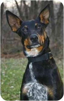 Doberman Pinscher Blue Heeler Mix