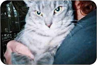 American Shorthair Cat for adoption in East Stroudsburg, Pennsylvania - Frack