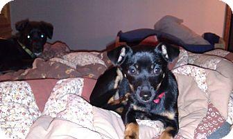 Miniature Pinscher/Terrier (Unknown Type, Medium) Mix Dog for adoption in Fresno, California - Jonah