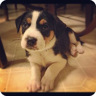 Bernese Mountain Dog/Rottweiler Mix Puppy for adoption in Torrance, California - DIEGO