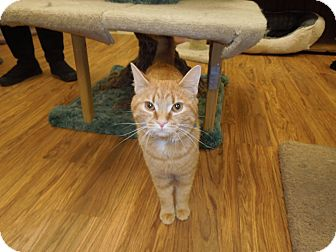 Domestic Shorthair Cat for adoption in Medina, Ohio - General