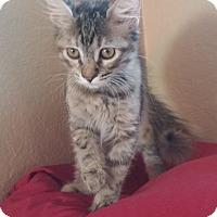 Adopt A Pet :: Calliope - Fountain Hills, AZ