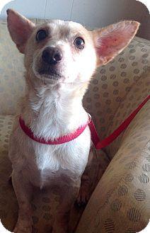 Beagle/Chihuahua Mix Dog for adoption in Phoenix, Arizona - Tim