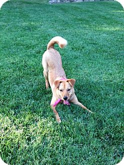 Chow Chow/German Shepherd Dog Mix Dog for adoption in Hewitt, New Jersey - Ruby