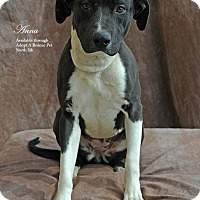 Adopt A Pet :: Donner - Las Vegas, NV