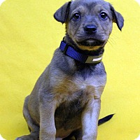 Adopt A Pet :: Hari - Westminster, CO