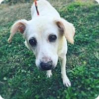 Labrador Retriever Dog for adoption in Evansville, Indiana - Pooch