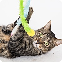 Domestic Shorthair Cat for adoption in Jupiter, Florida - Jeff