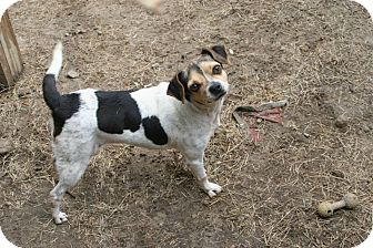 Jack Russell Terrier/Rat Terrier Mix Dog for adoption in Nashville, Georgia - Sadie