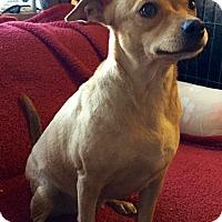 Adopt A Pet :: Rhoda - Phoenix, AZ