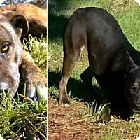 Husky/Pit Bull Terrier Mix Dog for adoption in Arcata, California - Jah & Hendrix