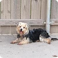 Silky Terrier/Poodle (Miniature) Mix Dog for adoption in Baton Rouge, Louisiana - Ellie Mae--ADOPTION PENDING