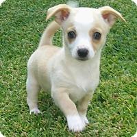 Adopt A Pet :: Crystal - La Habra Heights, CA